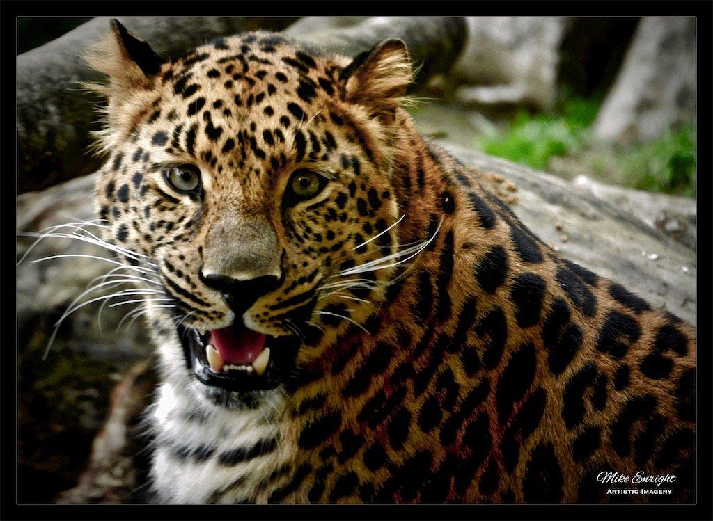 Amur Leopard-dsc00624_fotor.jpg