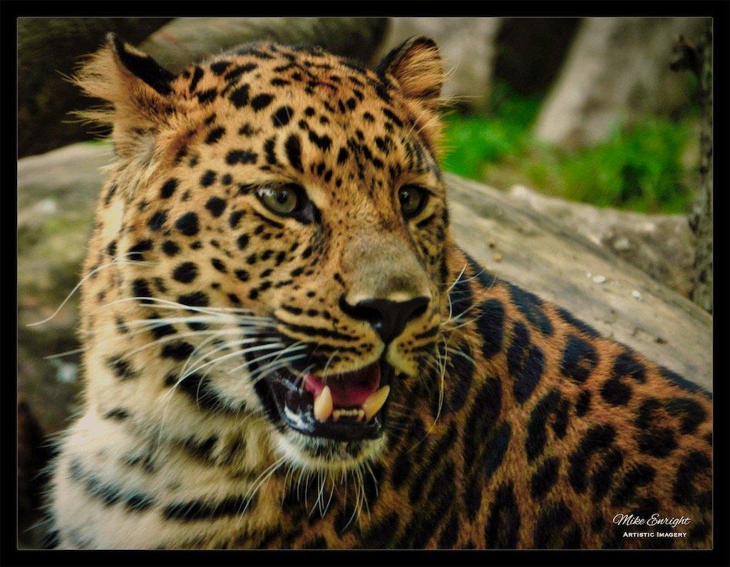 Amur Leopard-dsc00625_fotor.jpg
