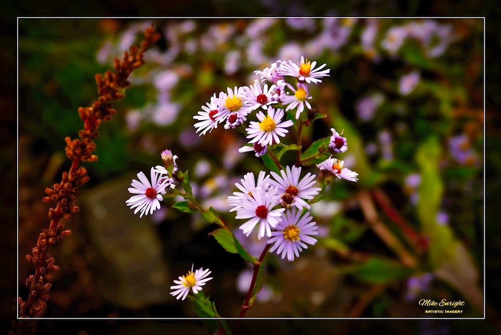 ~ Autumn Asters ~-dsc00931_fotor.jpg