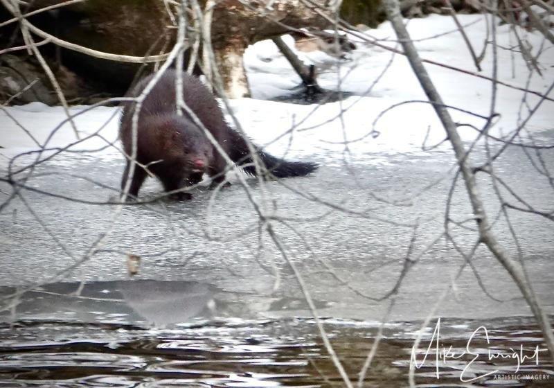 """French River Fur""-dsc01952resized.jpg"