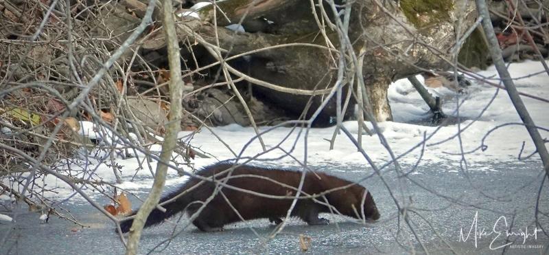 """French River Fur""-dsc01954resized.jpg"
