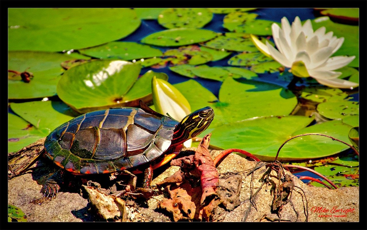 ~ PAINTED TURTLE ~ (Chrysemys picta)-dsc08685_fotor.jpg