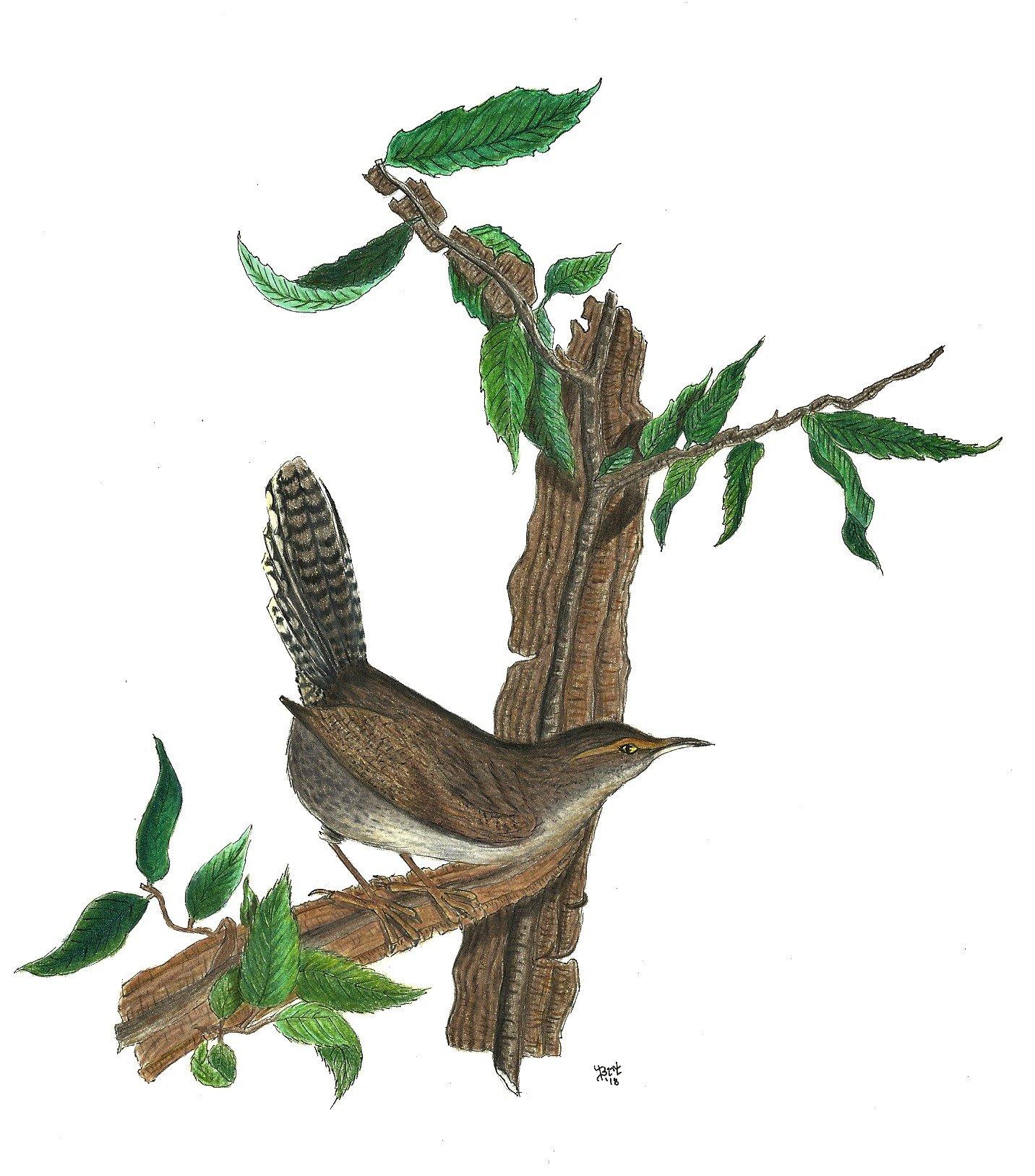 Wren in John J. Audubon style-scan0001.jpg