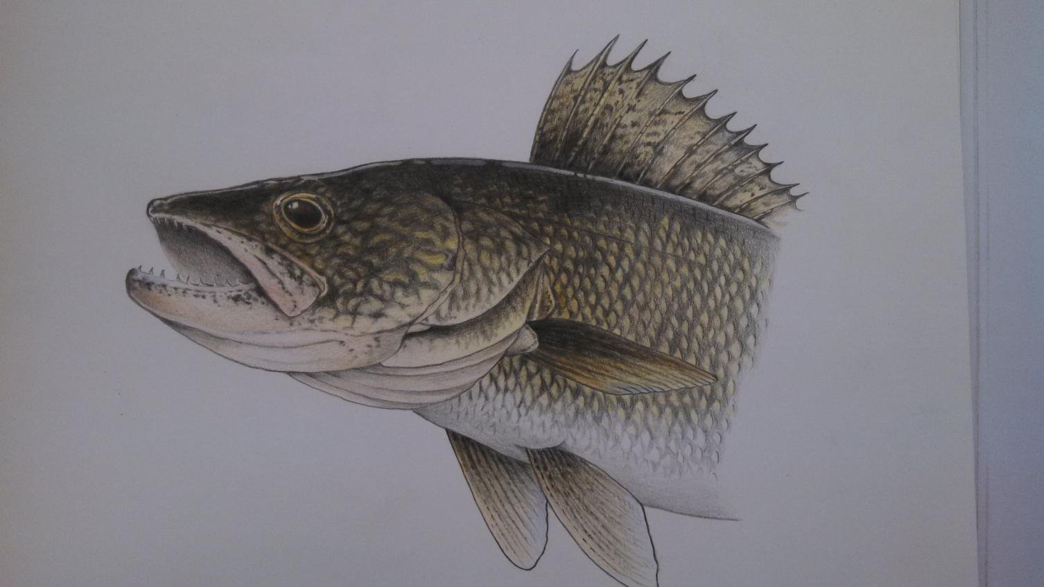 Walleye Drawings